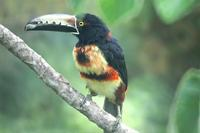 Collared Aracari. Photo by Barry Ulman. All rights reserved.