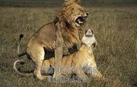 Lions mating , panthera leo , Maasai Mara National Reserve , Kenya stock photo