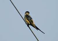 귀제비(Hirundo daurica) (Red-rumped Swallow)
