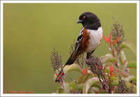 : Pipilo maculatus; Spotted Towhee