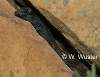 : Cordylus niger; Black Girdled Lizard