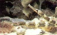 Greater Pipefish, Syngnathus acus