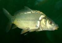 Cyprinus carpio carpio, Common carp: fisheries, aquaculture, gamefish, aquarium