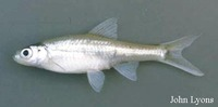 Notropis buchanani, Ghost shiner: