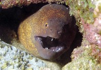 Gymnothorax flavimarginatus, Yellow-edged moray: fisheries, aquarium