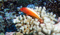 Paracirrhites forsteri, Blackside hawkfish: fisheries, aquarium