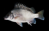 Mesopristes argenteus, Silver grunter: fisheries
