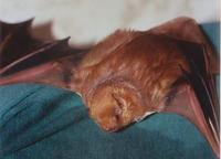 Image of: Lasiurus borealis (red bat)
