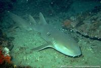 Ginglymostoma cirratum - Carpet Shark