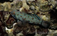 Synchiropus picturatus - Picture Dragonet