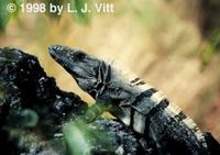 Image of: Ctenosaura pectinata (Mexican spiny-tailed iguana)