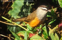 Grey-breasted Laughingthrush - Garrulax jerdoni