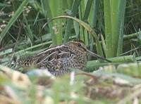 Pin-tailed Snipe (Gallinago stenura) photo