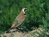 Horned Lark (Eremophila alpestris) photo