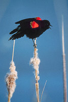 Red-winged Blackbird (Agelaius phoeniceus) photo