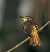 Northern Royal Flycatcher (Onychorynchus coronatus) photo