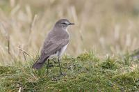 Paramo (Plain-capped) Ground-Tyrant (Muscisaxicola alpina) photo