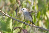 White-headed Marsh-Tyrant - Arundinicola leucocephala