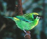 * Green-Gold Tanager