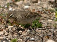 Berthelot's Pipit, El Jable Plains, Lanzarote, March 2006.