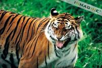 Bengal Tiger (Panthera tigris tigris) photo