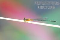 A Tropical Damselfly stock photo