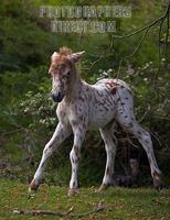 Spotted Shetland Pony Foal , New Forest , Hampshire , England stock photo