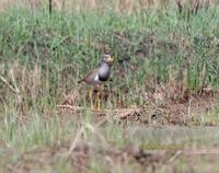 Grey-headed lapwing C20D 02295.jpg