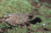 : Rhacophorus appendiculatus; Rough-Armed Tree Frog