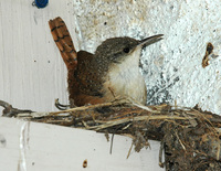 : Catherpes mexicanus; Canyon Wren