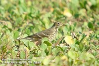 Fig. 11. Buff-billed Pipit : 밭종다리