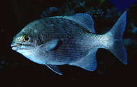 Kyphosus cinerascens, Blue seachub: fisheries
