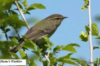 Hume's Warbler - Phylloscopus humei