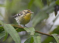 Blackburnian Warbler (Dendroica fusca) photo