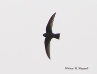 Black Swift - Cypseloides niger