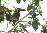 Golden-collared Toucanet - Selenidera reinwardtii