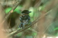 Black-crested Antshrike - Sakesphorus canadensis