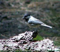 Mexican Chickadee - Poecile sclateri