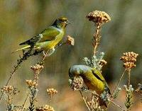 * Yellow Crowned Canary
