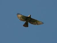Broad-winged Hawk; El Paval, Chiapas, Mexico (WEB).jpg