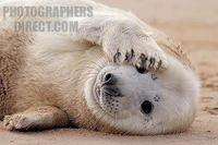 Grey seal pup ( Halichoerus grypus ) . Donna Nook , U . K . stock photo