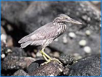 Green-backed Heron- Butorides striatus