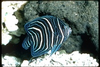 : Pomacanthus sp.; Angelfish