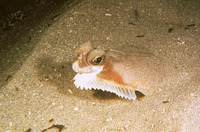 Pleuronichthys decurrens, Curlfin sole: fisheries, gamefish