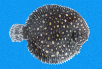 Trinectes fimbriatus, Fringed sole: