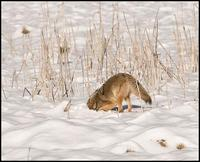 Image of: Canis latrans (coyote)