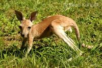 Macropus rufus - Red Kangaroo