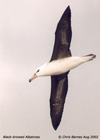 Black-browed Albatross - Diomedea melanophris