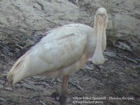 Yellow-billed Spoonbill - Platalea flavipes