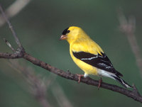 American Goldfinch (Carduelis tristis) photo